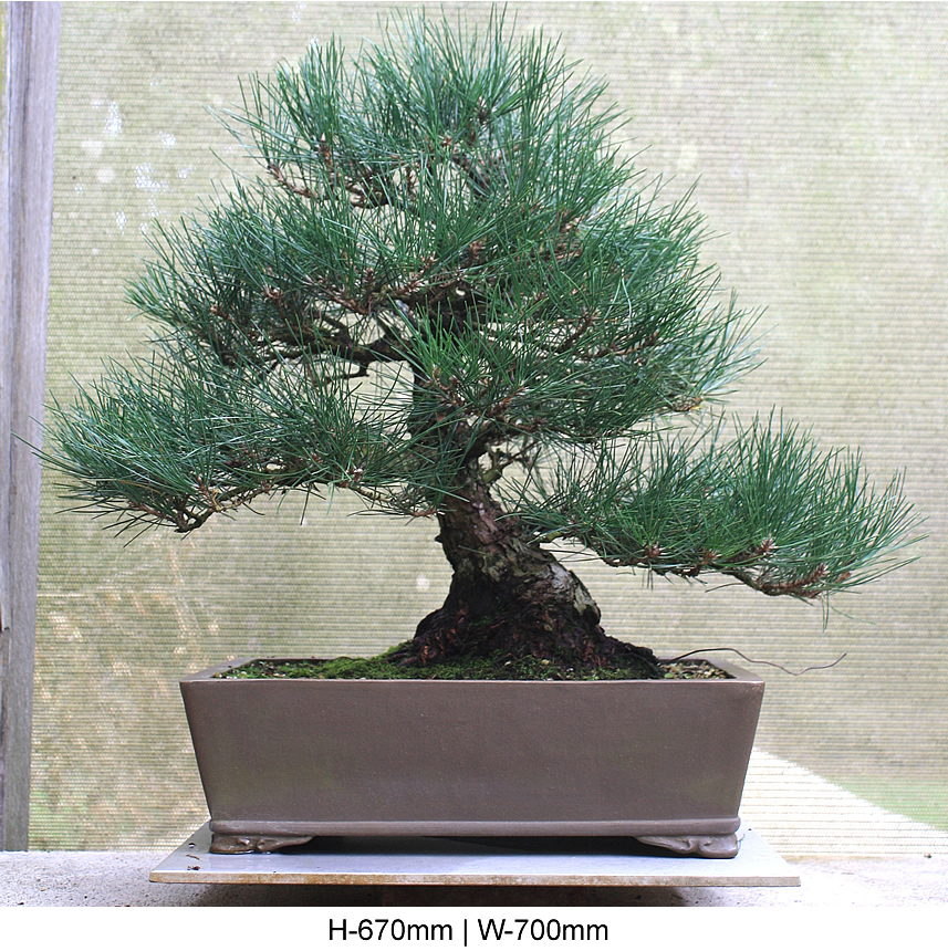 black-pine-front
